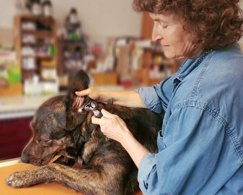 Allgemeine Untersuchung Hund Ohrenreinigung
